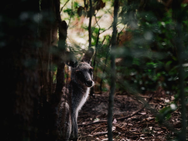 A young joey peers around the side of a tree at a local Kangaroo reserve Animals In The Wild Australia Australian Landscape Eye Em Nature Lover Olympus Animal Themes Animals In The Wild Australian Wildlife Day Eye Em Best Shots Forest Kangaroo Mammal Nature No People One Animal Outdoors Tree Week On Eyeem