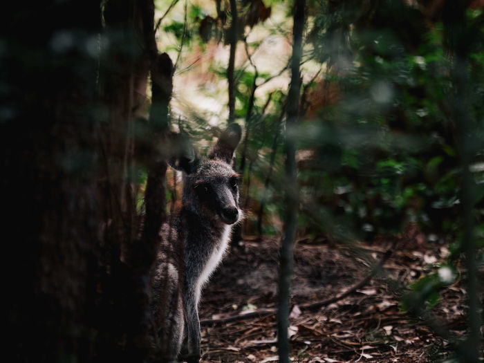 Portrait of kangaroo by trees in forest