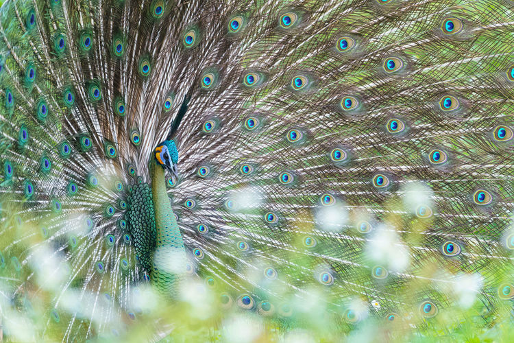 Full frame shot of peacock