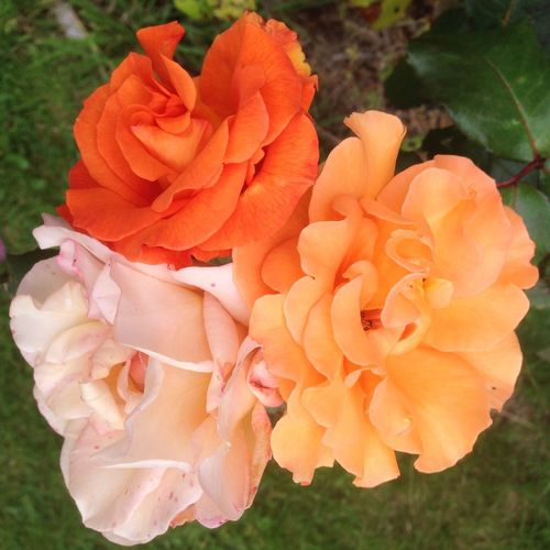 Triple beauty Roses Beautiful Nature Beautiful Colours....