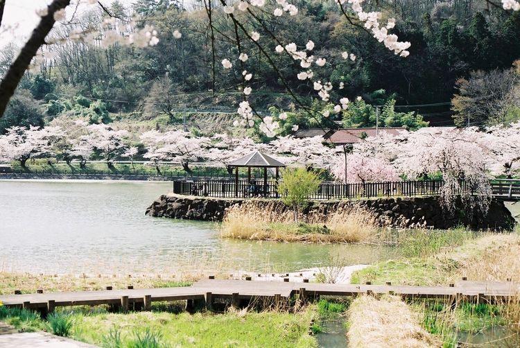 茶屋沼の櫻が満開だったころ。 茶屋沼 サクラ 満開 四阿 Chaya Swamp Sakura Full Bloom Azumaya Canon Ftb Film Photography