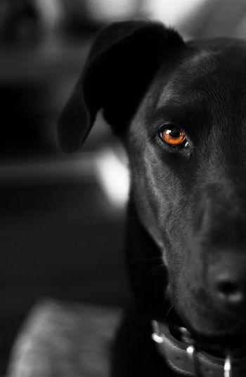 Dog Pets Domestic Animals One Animal Animal Themes Looking At Camera Black Color No People Indoors  Close-up