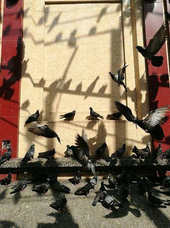 pigeons No People Animal Myanmar HuaweiP9 Sunlight Huawei P9 Leica