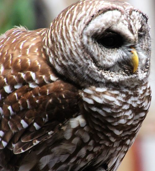 Animal Themes One Animal Bird Of Prey owl Close-up Feathers Of Many Colors Nature Outdoors No People