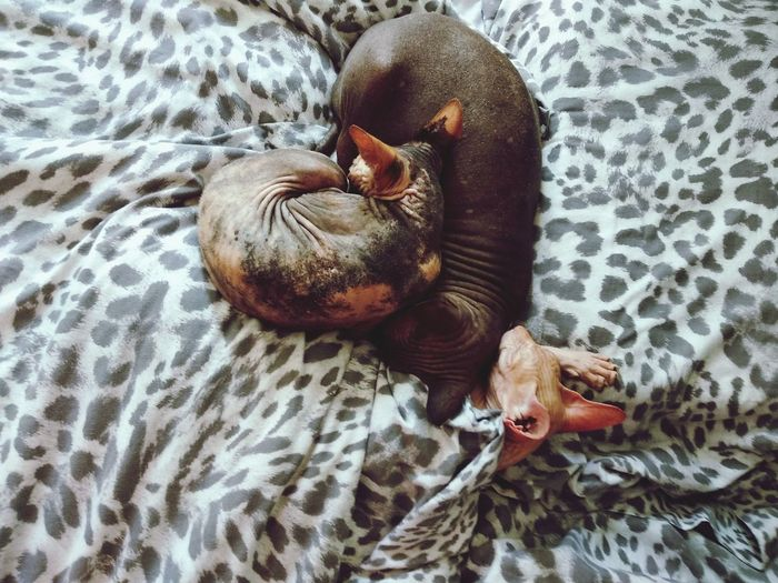 High Angle View Of Sphynx Cats Resting On Bed