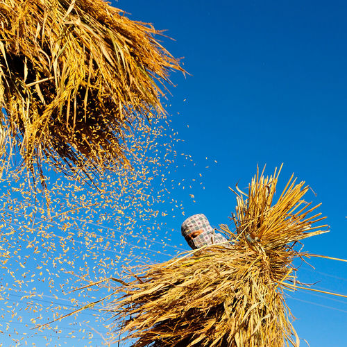 paddy worker Animal Nest Beauty In Nature Bird Bird Nest Blue Clear Sky Close-up Day Dried Dry Growth Hay Low Angle View Nature No People Outdoors Plant Sky Straw Sunlight Tree