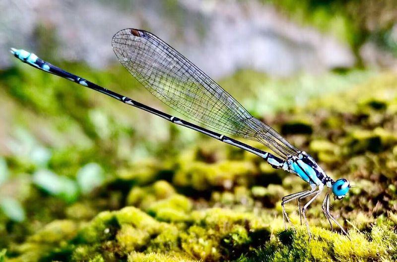 A blue dragonfly!!! Bluedragonfly Dragonfly Dragonfly💛 Dragonfly_of_the_day Dragonfly Photograohy Dragonfly Nature Insects Dragonfly Series Insect Insect Photography Huawei HuaweiP9 Huawei P9 Leica Close-up