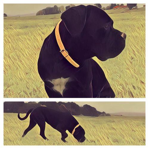 Dog Canecorso  Canecorsolovers Canecorsoitaliano ItalianMastiff Dog Portrait Dog Love Dog Lover I Love My Dog