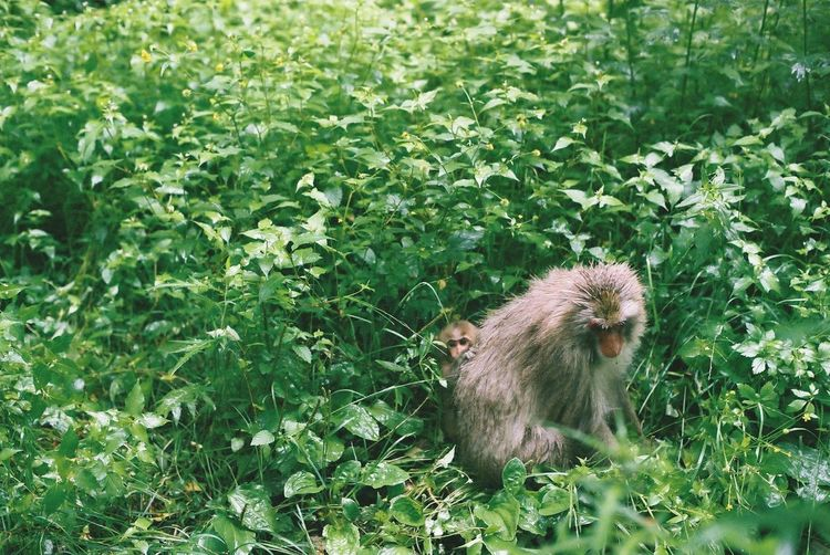 Japanese Macaque With Infant Amidst Plants In Forest