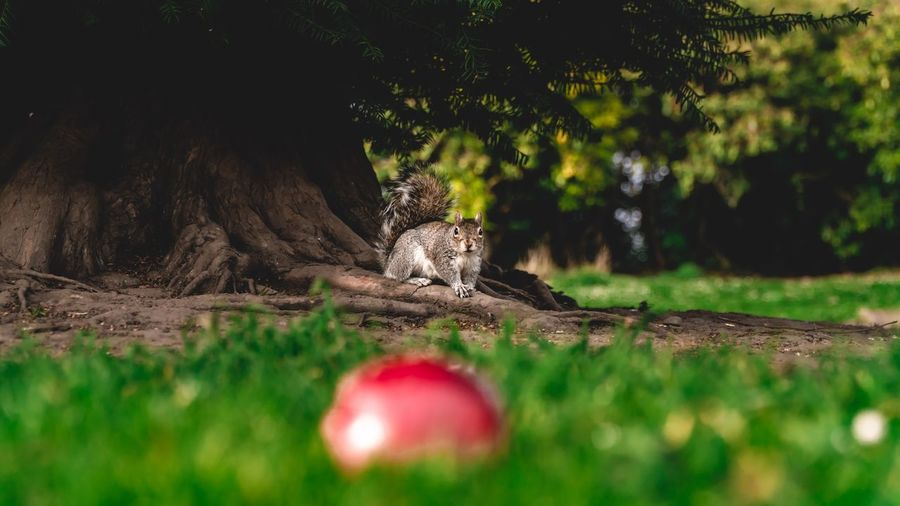 Feeding Animals Adorable Park Squirrel Hungry Apple Finding Spring Summer Tree Plant No People Nature Selective Focus Representation Art And Craft Day Land Green Color Creativity Grass Growth Outdoors Sunlight Field