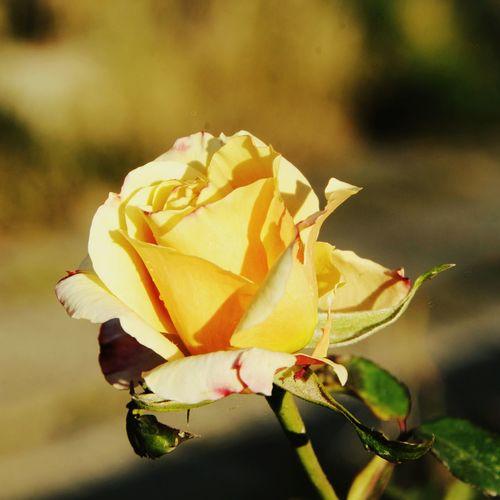 #rose #roses #gül Gul Güller Ve Dudaklar Sari Sarı