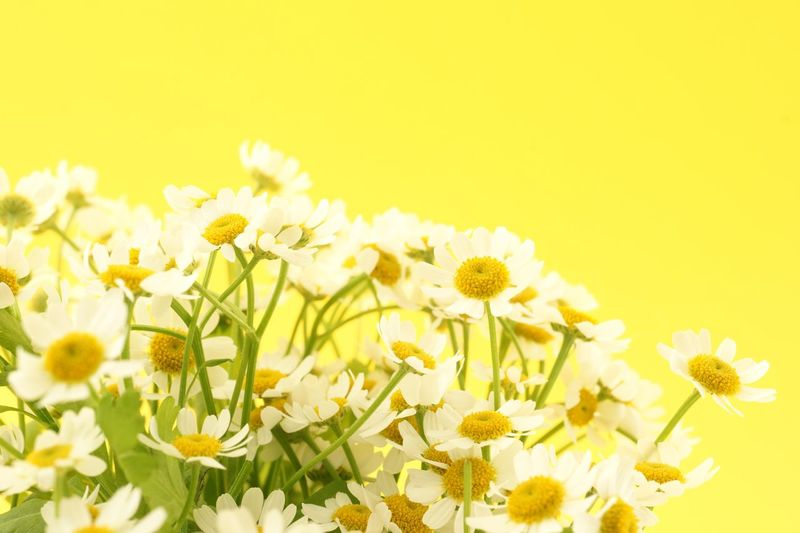 chamomile flowers with copy space Copy Space Nobody Petal Herbal Herb Nobody Flower Chamomile Yellow Kamille Flowering Plant Flower Yellow Plant Freshness Beauty In Nature Fragility Vulnerability  Flower Head Close-up Petal Copy Space Growth Daisy Studio Shot No People Colored Background
