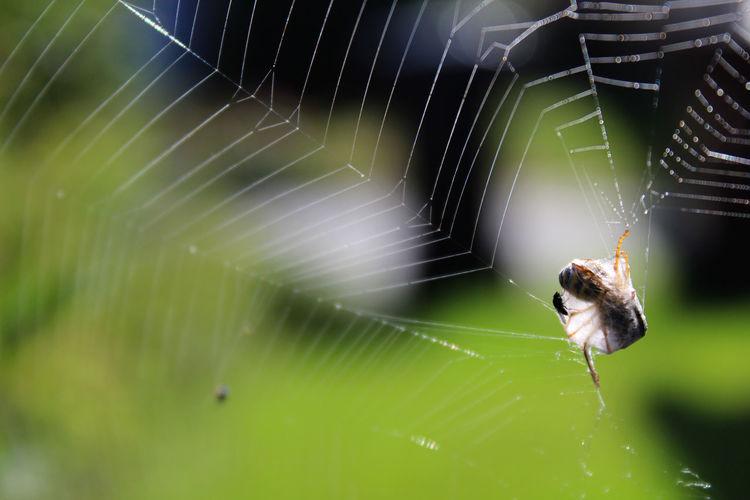 Wasp caught in spiderweb