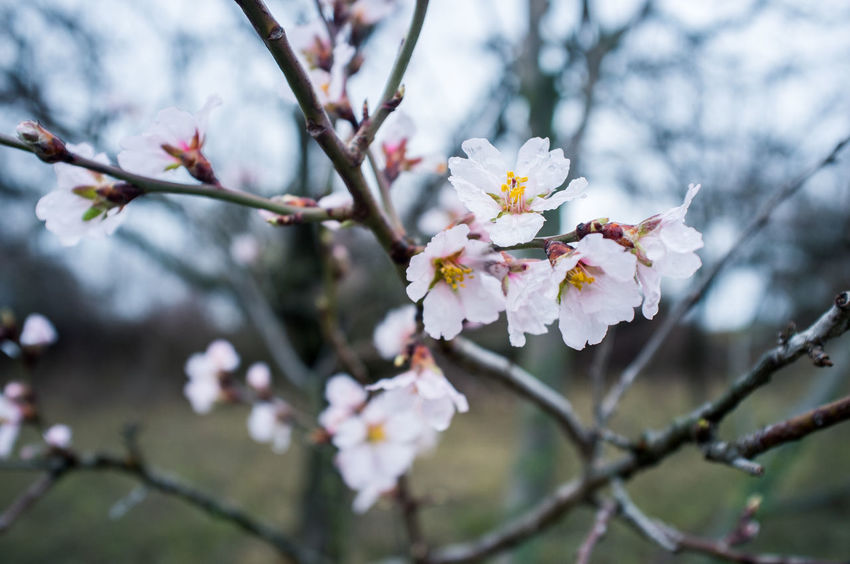 Almond Tree Almond Blossom Blooming Flowers Flower, Tree Almond Almond Flowers Blooming Blooming Flower Blossom Flower Flower Head Springtime