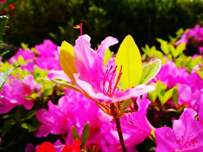 Flower Pink Color Plant Nature Beauty In Nature Outdoors Fragility No People Day Flower Head Growth Close-up Freshness