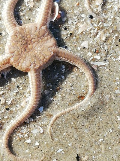 Seastar Seestern Strand Sommer Summer Lebewesen Tier Animal Rømø No Filter No People Kein Filter Tentacle Beach Sand Low Section High Angle View Close-up Starfish  Star Shape Sea Life Floating In Water Sandy Beach Seashell