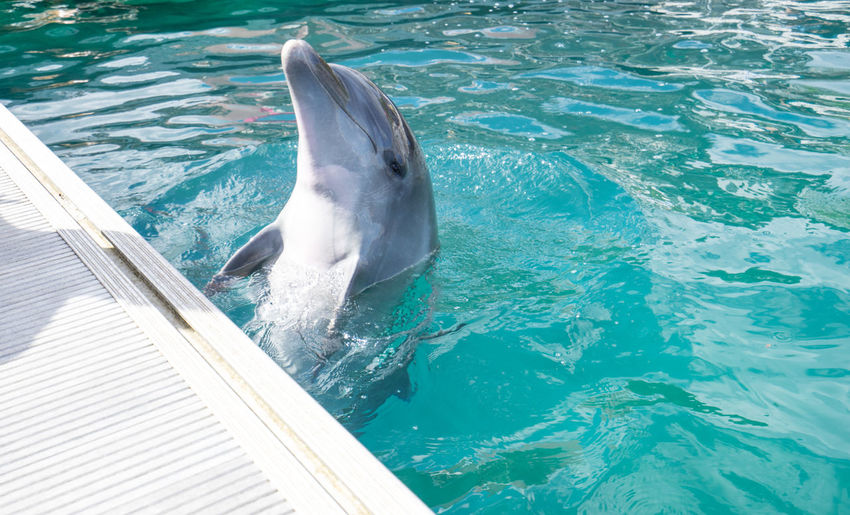 High Angle View Of Dolphin In Swimming Pool