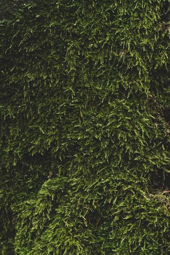 Woods Copy Space Backgrounds Wallpaper Pattern, Texture, Shape And Form Green Nature Moss Full Frame Backgrounds Green Color No People Plant Nature Growth Day Outdoors Beauty In Nature Close-up Tranquility Grass