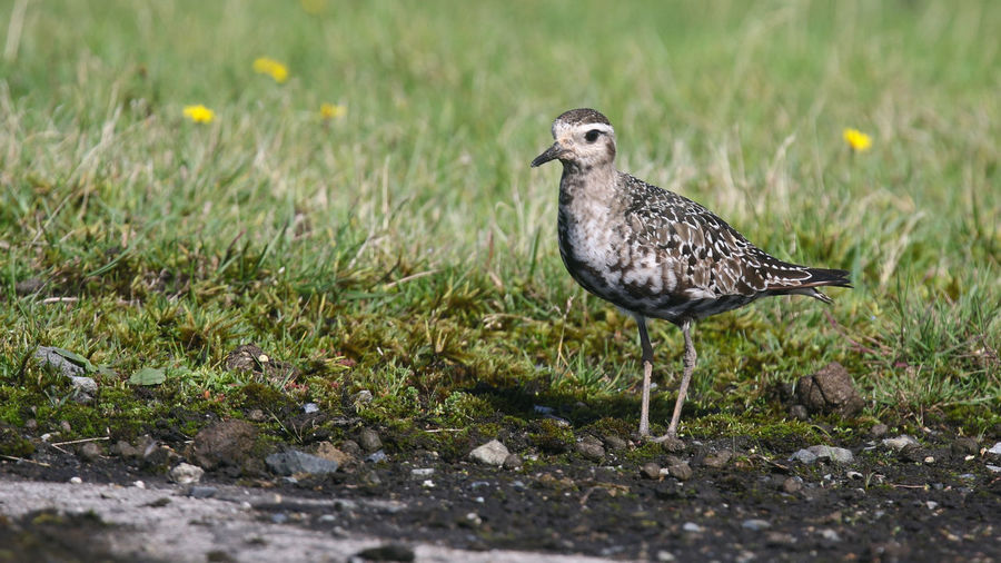 American Golden Plover Aves Cornwall Birds Davidstow Airfield Animal Themes Animal Wildlife Animals In The Wild Bird Birds Cornwall Golden Pavilion  Nature Outdoors Wader Waders