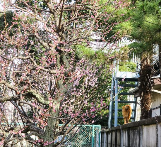 Ume2015 Ume Tree Stray Cat Cat Cat Watching at Minatoku in Tokyo Japan