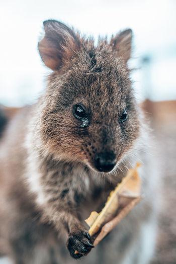 Quokka only inhabits in western australia, mostly on rottnest island.