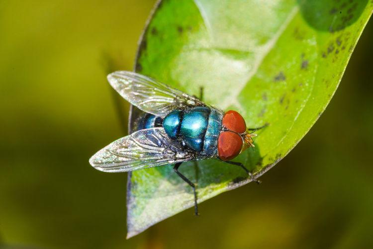 大頭麗蠅 Insect