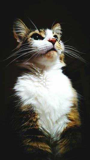 Blue Eyes Domestic Cat Cat Animal Themes Cats Of EyeEm Catoftheday