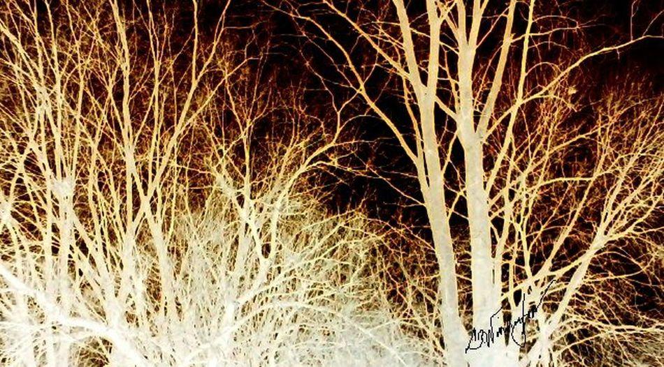 The light trees Woods Black White