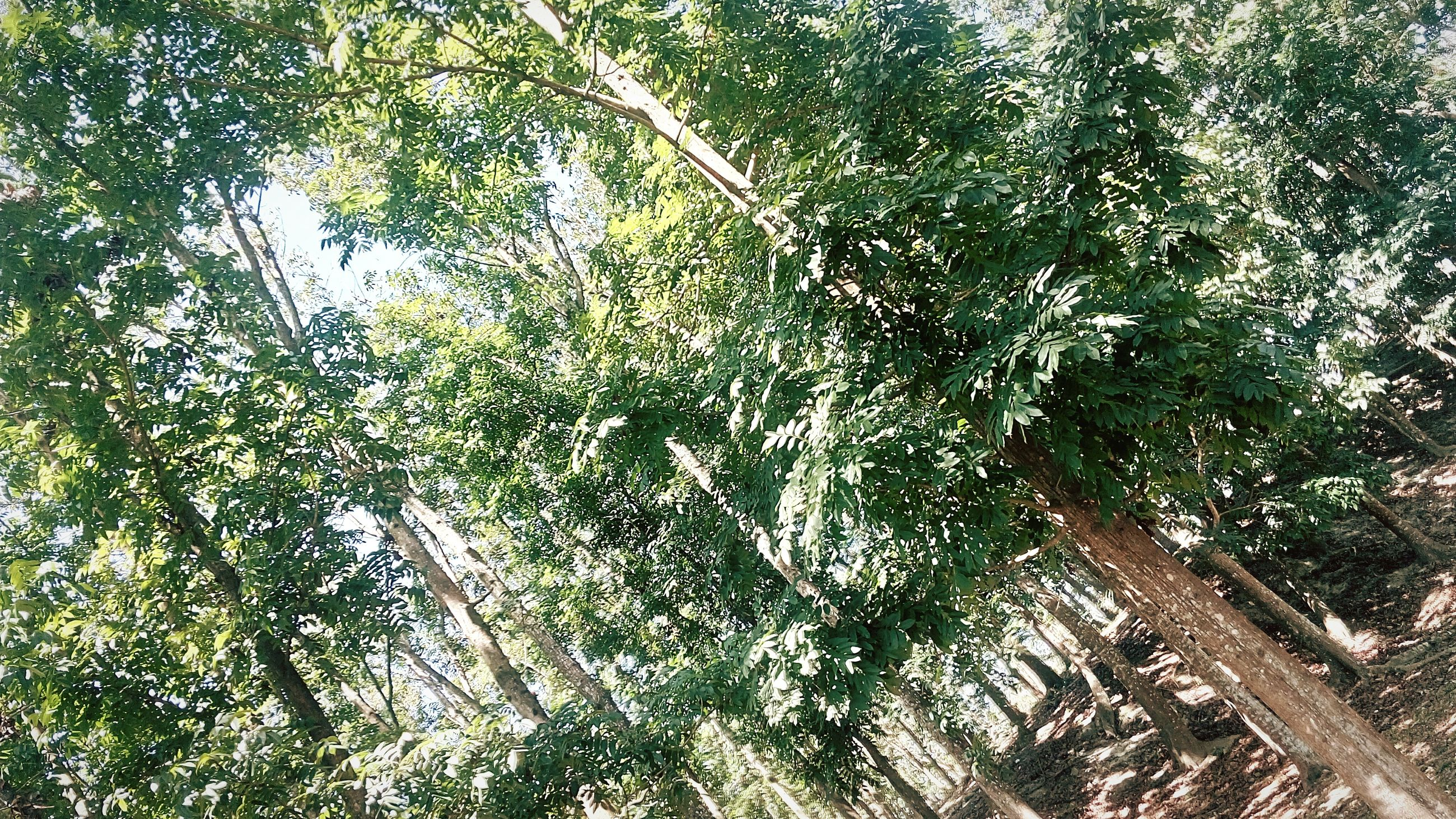 tree, growth, branch, tranquility, nature, low angle view, sunlight, beauty in nature, forest, green color, tree trunk, day, tranquil scene, outdoors, scenics, no people, plant, leaf, idyllic, sky