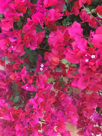 Pink Red Bougainvillea Portugal Wall Climber Climber Bougainvillea Red Pink Pink Color Full Frame Beauty In Nature Flower Flowering Plant Plant Backgrounds