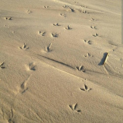 Sandpiper Footprints In The Sand