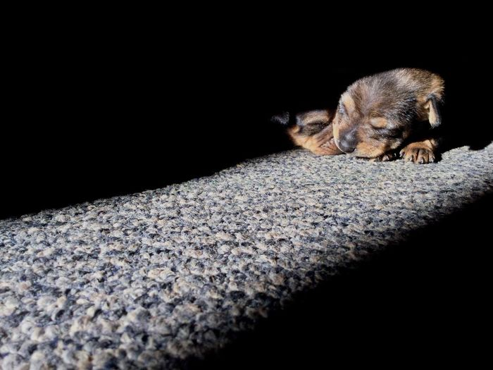Two Puppies Sleeping Sunshine Warmth Cozy Verycute Babydogs Babyanimals Animalbabies Canine Dogsofeyeem Dogphoto Dogphotography Selective Focus Animal Domestic Animals Ratterriermix Cuteness Cuteness Overload Countrydogs DeepintheheartofTexas 2weeksold Smalldogs Browncolor Puppyportrait