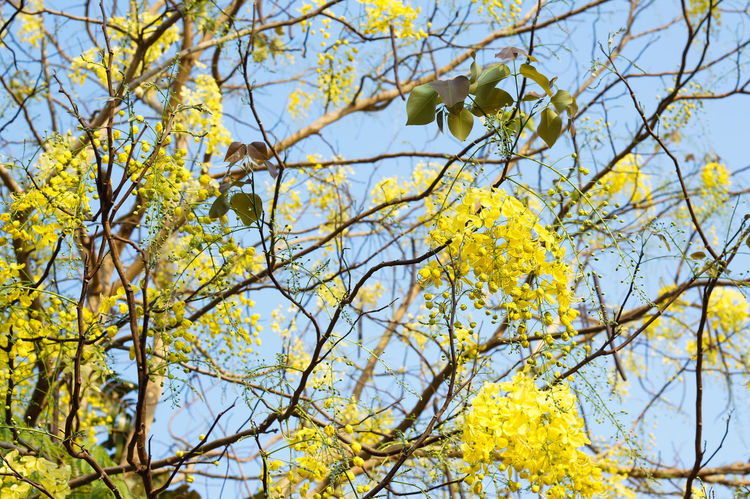 beautiful yellow flower plant in Thailand Plant Green Pattern Background Beautiful Lifestyles Light Abstract Art Color Shadow Low Angle View Branch Tree Yellow Outdoors Nature Growth Day No People Beauty In Nature Flower Sky Leaf Fragility Freshness