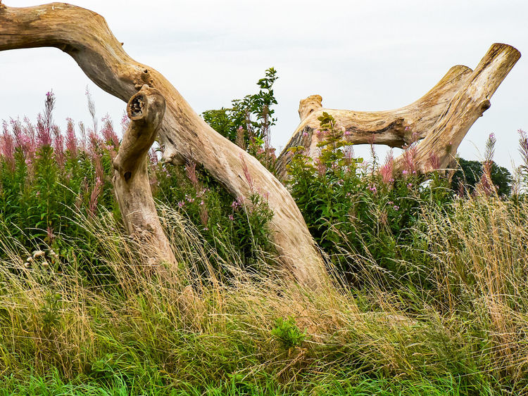 Beauty In Nature Dead Plant Driftwood Field Grass Growth Nature No People Non-urban Scene Outdoors Plant Sky Tranquil Scene Tranquility Tree Tree Trunk Trunk Wood - Material