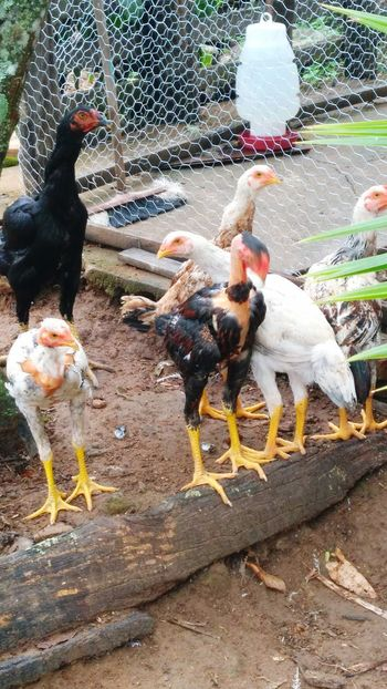 #galinhas# Ticker Nature Photography Animal Pen Four Animals Chainlink Fence Birdcage Animal Crest Captive Animals