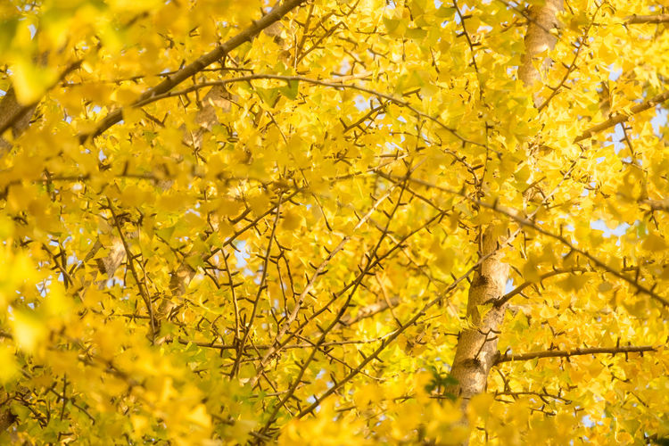 Low angle view of yellow flowering tree during autumn