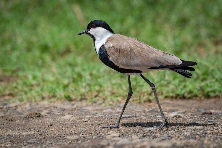 Animal Themes Animal Wildlife Animals In The Wild Bird Blacksmith Plover Close-up Day Full Length Lapwing Nature No People One Animal Outdoors Perching Plover Wildlife