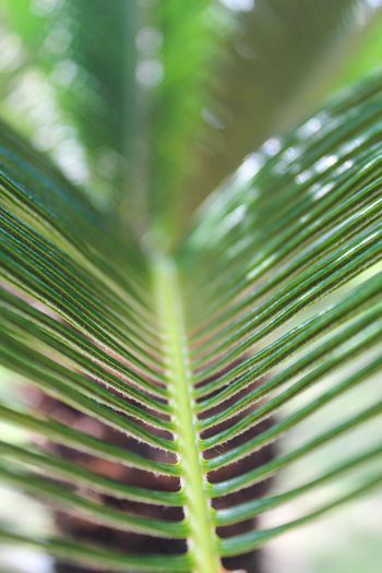 Palm leaf Texture Green Tree Macro Huge Nature Leaves Close-up Frond Leaf Palm Tree Fern Full Frame Close-up Green Color Plant Leaf Vein Palm Leaf Focus Tropical Tree Coconut Palm Tree Dominican Republic Natural Pattern Plant Life