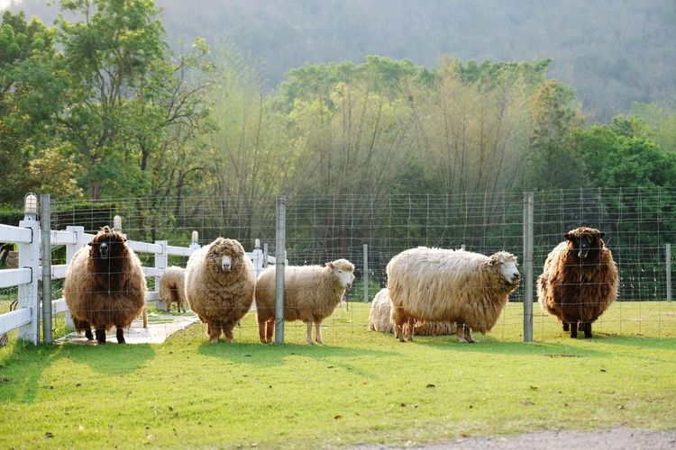 many sheep on the green lawn Forest Group Of Animals Lamp Animal Themes Tree Fram Sheep EyeEm Nature Lover EyeEm Selects Animal Vintage Grass Green Advanture