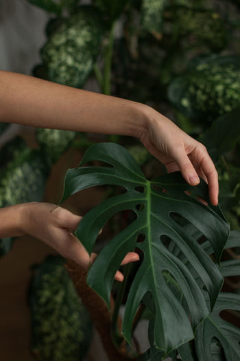 Woman gardener touching lush green monstera leaves in green house. love of plants.