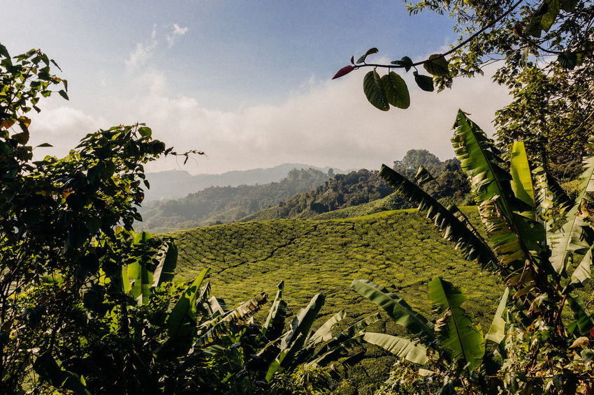 Agriculture Framed View Rolling Landscape Sunlight Beauty In Nature Blue Sky Day Environment Field Focus On Foreground Green Color Growth Land Landscape Nature No People Outdoors Plant Plantation Scenics - Nature Sky Tea Plant Tea Plantation  Tea Plantation Terrace Tranquil Scene