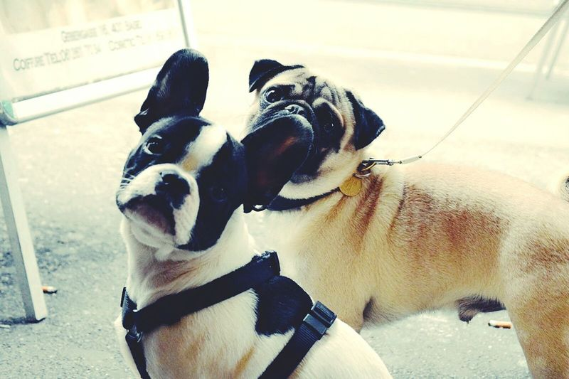 Heyyy! What's that?! ? Cute Pets Frenchie Pug Cute Dogs Dogoftheday I Love Dogs EyesMelted