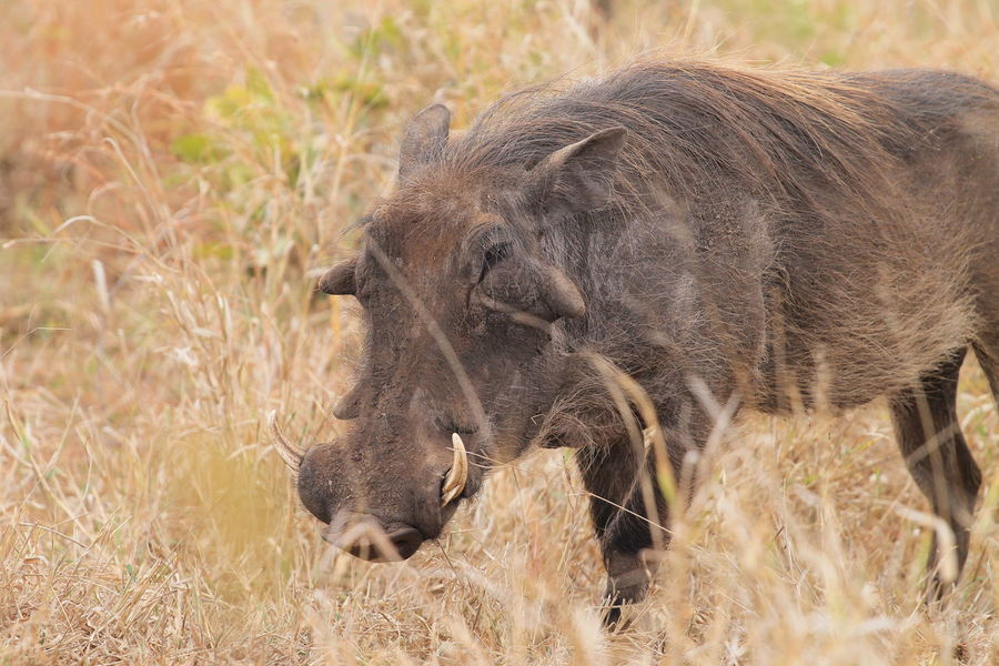 South Africa Warzenschwein Animal Themes Animal Wildlife Animals In The Wild Close-up Day Field Grass Krugernationalpark Krüger National Park  Mammal Nature No People One Animal Outdoors Safari Animals Warthog
