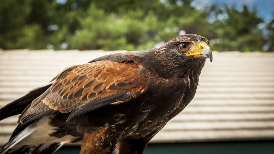 Close-up of an hawk