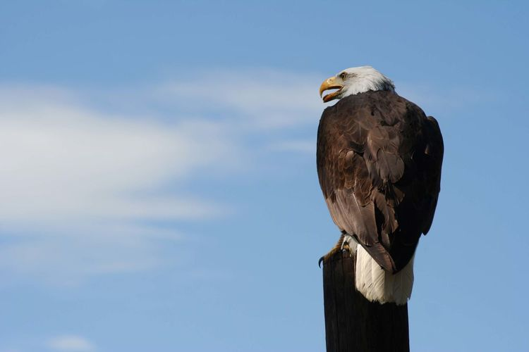 Low Angle View Of Bald Eagle Perching On Wooden Post Against Sky