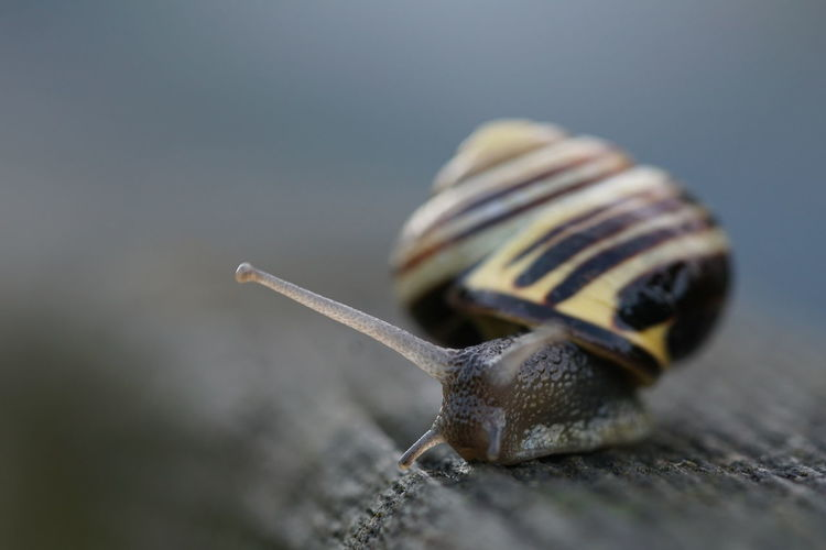 Snail turning on a Fence Creeping Snail Turning Around Animal Animal Antenna Animal Body Part Animal Shell Animal Themes Animal Wildlife Animals In The Wild Boredom Close-up Day Gastropod Grove Snail Invertebrate Mollusk Nature No People One Animal Selective Focus Shell Slow Snail Speed