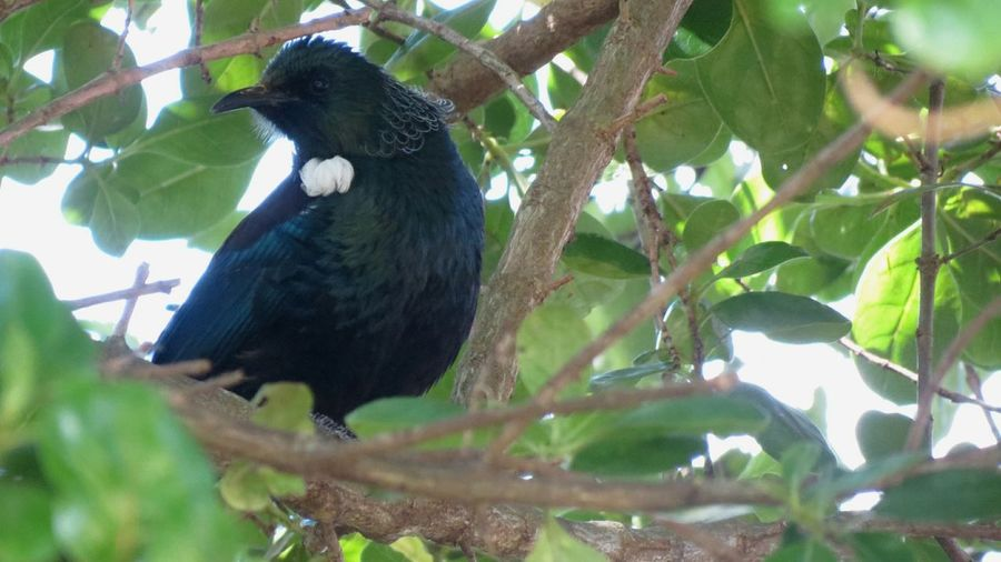 Bird Tree Animal Themes Low Angle View Branch One Animal Animals In The Wild Green Color Black Color Leaf No People Nature Outdoors Perching Beauty In Nature Day Nz Native Bird Tui Bird Babies New Zealand Nature Beauty In Nature