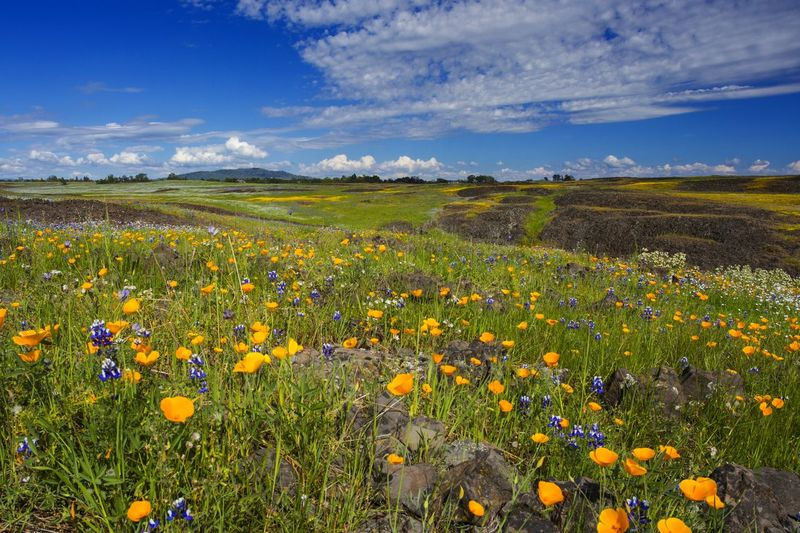 Table Mountain California California USA California Poppies Flower Growth Agriculture Field Nature Cloud - Sky Sky Beauty In Nature Farm Rural Scene Freshness Plant Crop  Abundance Landscape Summer Day Scenics Blue No People