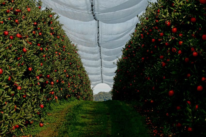 Apple Apple Trees  Tree Red Grass Green Color Plant Farmland Garden Growing Young Plant