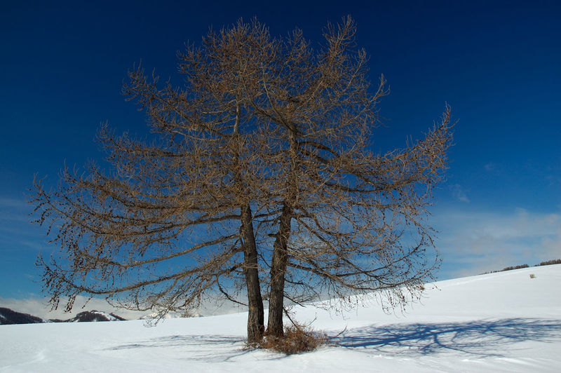 Bare tree on snow covered land against blue sky